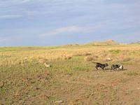 Jason's two dogs running in a field at Ft. Peck Lake.